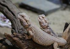 2 бородатых дракона Стоковые Фотографии RF