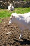 Бортовая головка коровы Стоковое фото RF