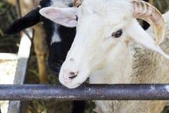 Бортовая деталь сняла белых овец в укрытии Стоковые Изображения RF