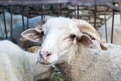 Бортовая съемка белых овец в укрытии Стоковые Фотографии RF