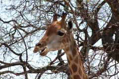 Бортовое изображение профиля еды головы жирафа занятой Стоковое фото RF