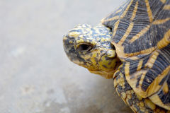 Бортовой конец профиля вверх черепахи звезды Стоковые Изображения