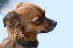 Бортовой портрет маленькой собаки щенка стоковые изображения rf