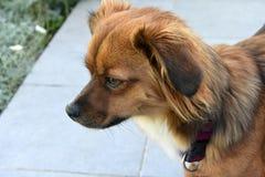 Бортовой портрет маленькой собаки щенка стоковые фотографии rf