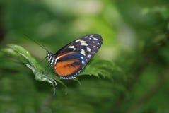 Бортовой профиль бабочки Zuleiika на лист Стоковое Изображение RF