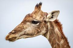 Бортовой профиль жирафа Стоковая Фотография