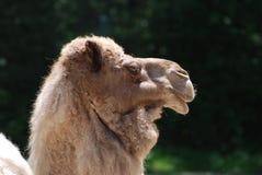Бортовой профиль Bactrian верблюда Стоковое фото RF