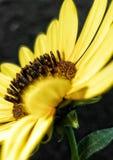 Бортовой солнцецвет Стоковая Фотография RF