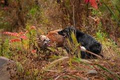 Борьба лисицы лисицы красного Fox и серебряного Fox Стоковая Фотография