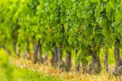 Бордо Франция виноградника лоз виноградин Стоковое Изображение RF