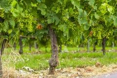 Бордо Франция виноградника лоз виноградин Стоковая Фотография RF