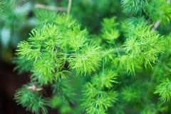 Ботаника зеленого цвета завода сосны Стоковые Фото