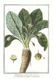 Ботаническая винтажная иллюстрация завода rotundo fructu Mandragora Стоковые Изображения RF