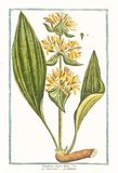 Ботаническая винтажная иллюстрация Gentiana главного завода lutea Стоковые Изображения RF