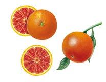 Ботаническая иллюстрация апельсина крови Стоковая Фотография