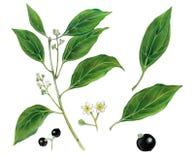 Ботаническая иллюстрация camphora cinnamomum дерева камфоры Стоковые Фотографии RF