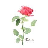 Ботаническая иллюстрация акварели красной розы изолированная на белой предпосылке Стоковое Изображение