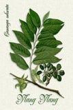 Ботаническая иллюстрация иланг-иланга Стоковые Изображения