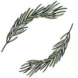 Ботаническая иллюстрация с сосной разветвляет, сосна, нарисованная рука Стоковые Фото