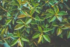 Ботаническая предпосылка листвы большой смоковницы выходит картина Влияние штейна стиля битника живых зеленых цветов желтого цвет Стоковое Фото