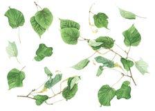 Ботанический комплект с ветвями и листьями липы, картины акварели Стоковые Изображения