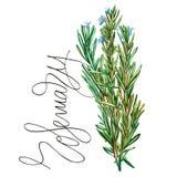 Ботанический чертеж розмаринового масла Иллюстрация акварели красивая кулинарных трав используемых для варить и гарнирует иллюстрация вектора