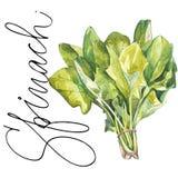 Ботанический чертеж шпината Иллюстрация акварели красивая кулинарных трав используемых для варить и гарнирует иллюстрация вектора