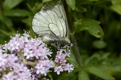 боярышник бабочки Стоковые Изображения