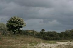 Боярышник в голландских дюнах Стоковые Изображения RF