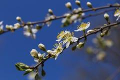 Боярышник Зацветая конец-вверх ветви боярышника весной стоковое фото