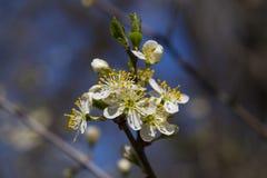 Боярышник Конец-вверх цветков боярышника весной стоковые изображения rf
