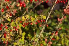 Боярышник осени с красными ягодами Стоковая Фотография RF