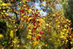 Боярышник после дождя, красных ягод боярышника ягод на ветви Стоковая Фотография