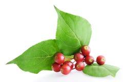 боярышник ягоды Стоковые Фото