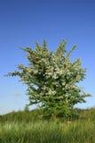 боярышник bush стоковые изображения rf
