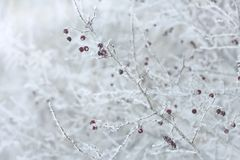 Боярышник Rindy в зиме, белых терновых ветвях и красном цвете приносить Стоковое Изображение
