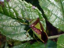 Боярышник Shieldbug Стоковые Фото