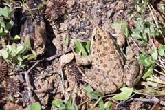 Болгарская жаба Стоковая Фотография RF