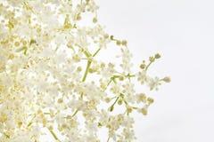 более старый цветок Стоковые Изображения RF
