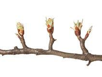Более Fruitier бутоны на весне стоковые изображения