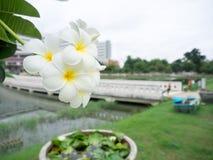 Более Plumier цветки Стоковое фото RF