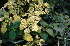 Болезнь растения разлада завода Chili Стоковое фото RF