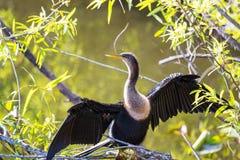 2 болотистой низменности птицы Стоковое Изображение