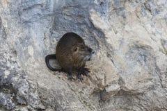 Болото бобра, природа Кавказ Стоковое фото RF