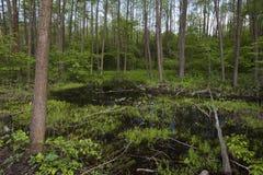 Болото в лесе Стоковое фото RF