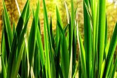 Болото с крупным планом тростников в свете рассвета Стоковое Фото