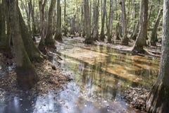 Болото Cypress и ниссы watre Стоковое фото RF