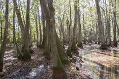 Болото Cypress на трассировке Natchez Стоковое Изображение