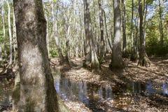 Болото Cypress с ниссой воды Стоковые Фото