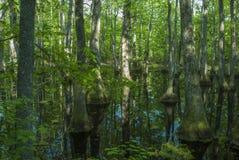 Болото Cypress, трассировка Natchez, MS Стоковые Изображения RF
